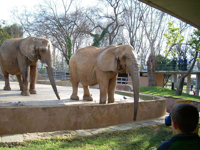 Elephants in a zoo