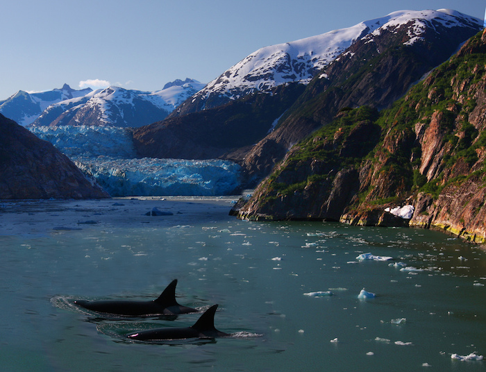 Orcas breaking water in front of an Alaskian glacier