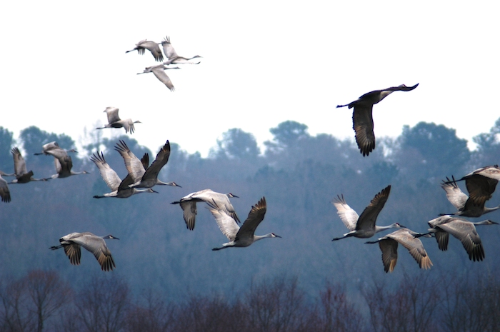 Cranes flying over wetlands