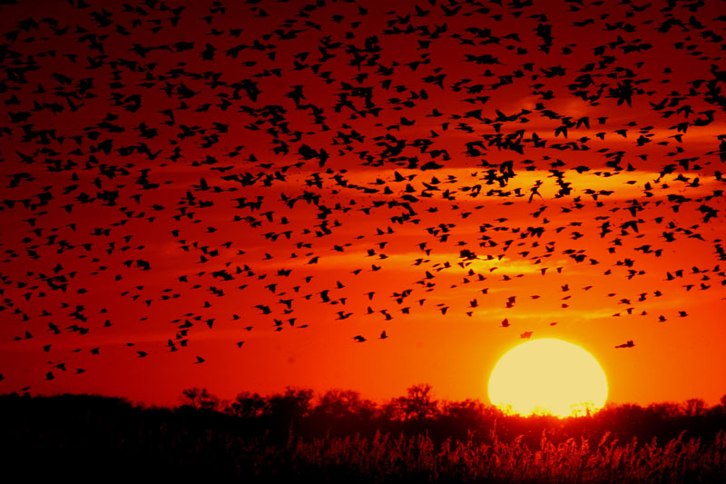 A cluster of blackbirds flying at sunset.