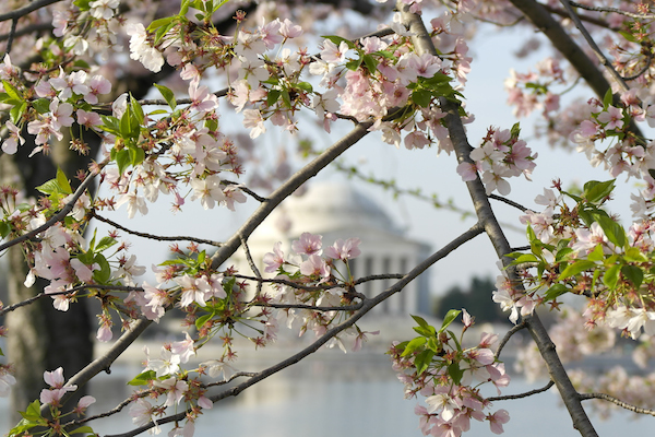 Cherry blossoms blooming with the White House in the background.